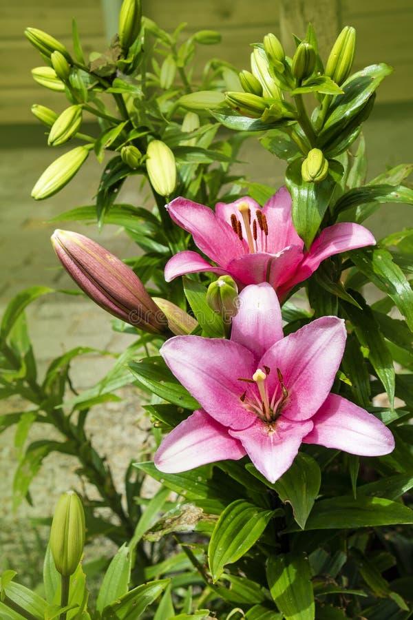 Rosafarbene Lilienblume Sch?ne Lilienblume im Garten Lily Lilium-Hybridblume stockbilder