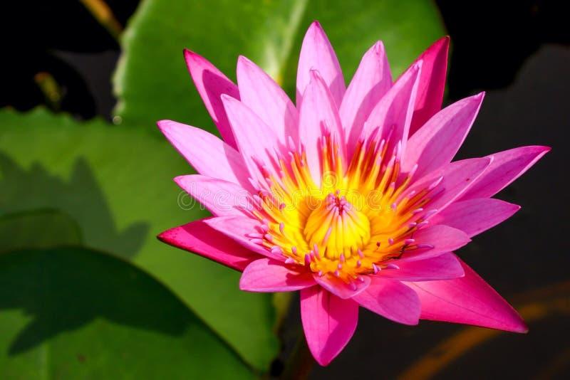 Rosafarbene Lotosblume stockbild