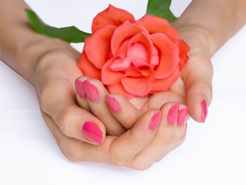 Rosafarbene Maniküre und Scharlachrot stiegen stockfoto