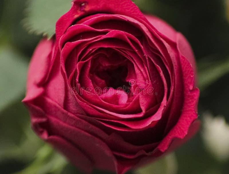 Rosafarbene Nahaufnahme des Rotes stockbild