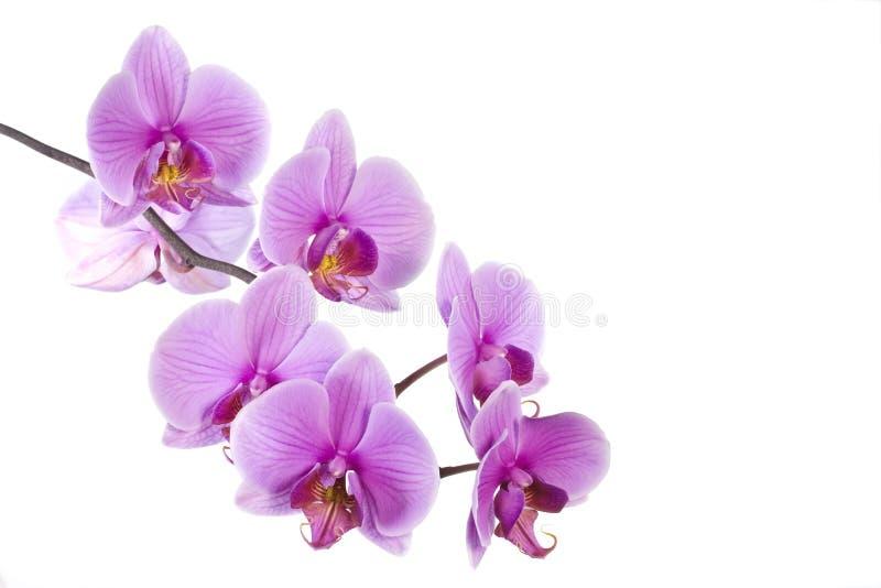 Rosafarbene Orchidee stockbild