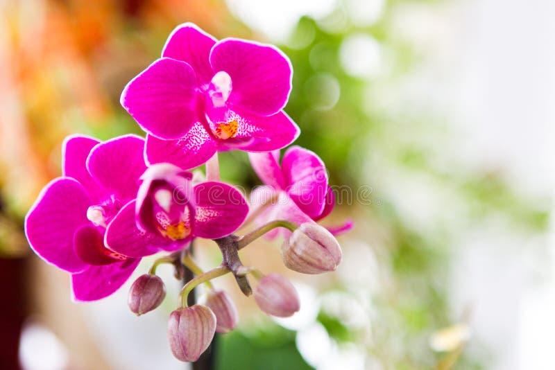 Rosafarbene Orchideeblume stockbilder