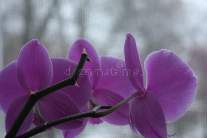 Rosafarbene Orchideeblumen stockbilder