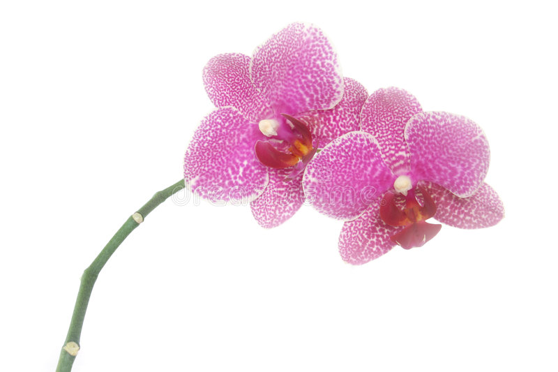 Rosafarbene Orchideeblumen lizenzfreies stockbild