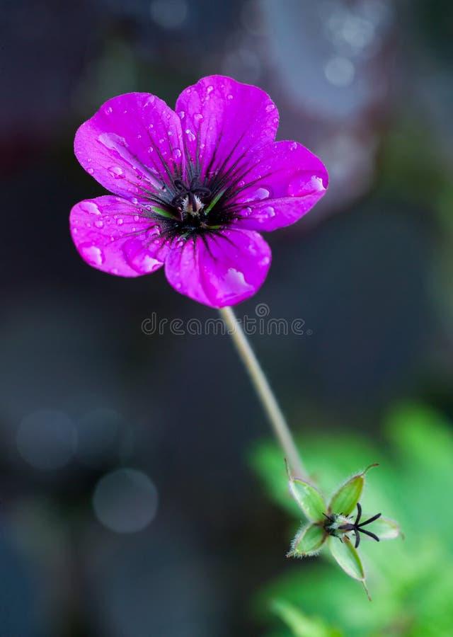 Rosafarbene Pelargonie, mit neuen Tautropfen stockfotos