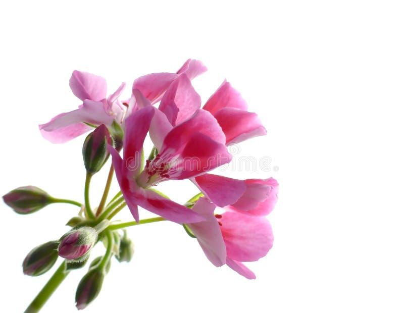 Rosafarbene Pelargonieblumen lizenzfreie stockfotografie