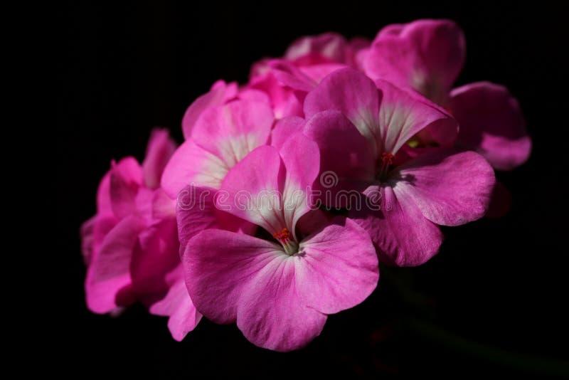 Rosafarbene Pelargonieblumen lizenzfreies stockbild