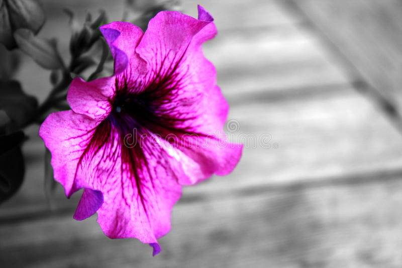 Rosafarbene Petunie lizenzfreies stockfoto