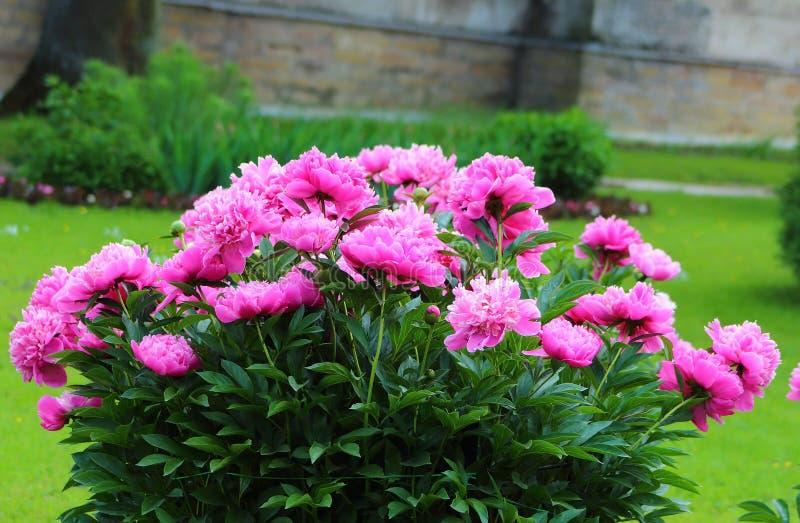 Rosafarbene Pfingstroseblumen stockbilder