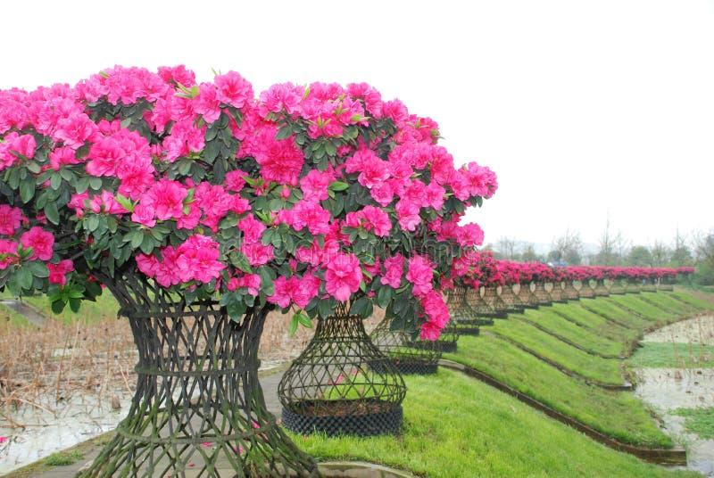Rosafarbene Pfirsichazaleeblüte stockbild