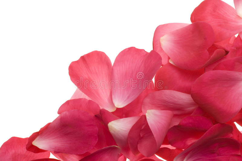 Rosafarbene rosafarbene Blumenblätter stockfoto