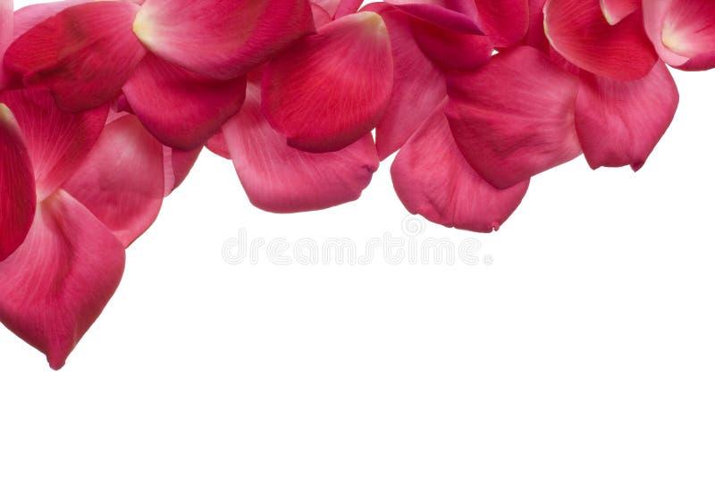 Rosafarbene rosafarbene Blumenblätter getrennt auf Weiß lizenzfreies stockfoto