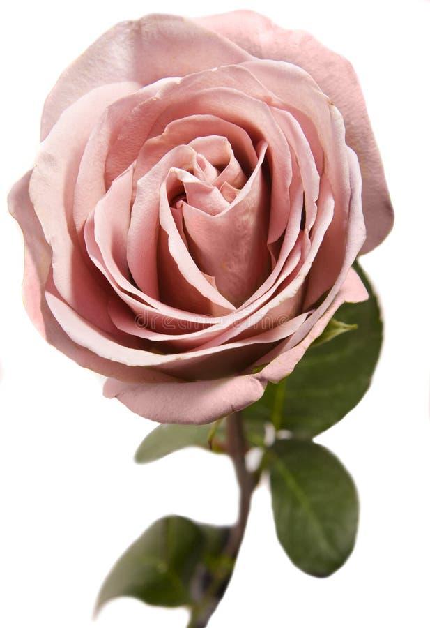 Rosafarbene Rose auf Weiß lizenzfreie stockbilder