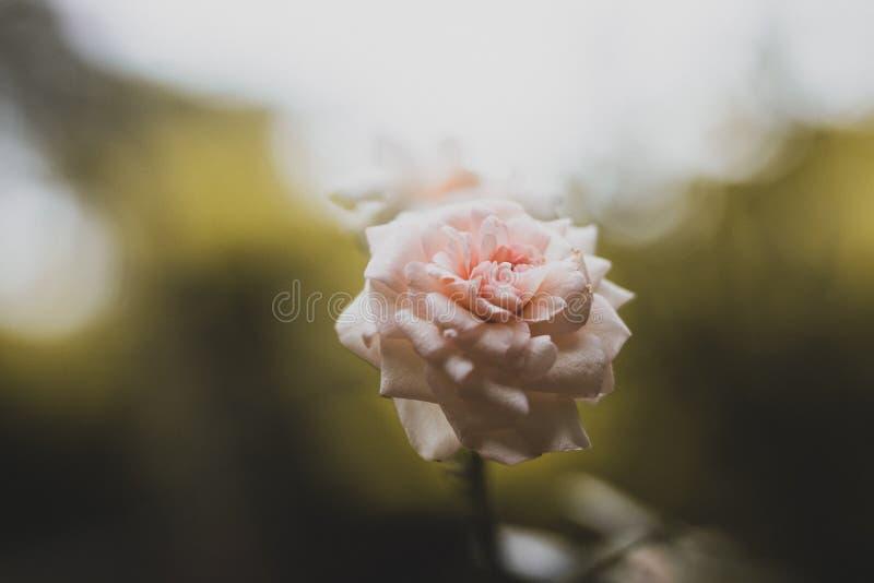 Rosafarbene Rose im Garten lizenzfreies stockfoto