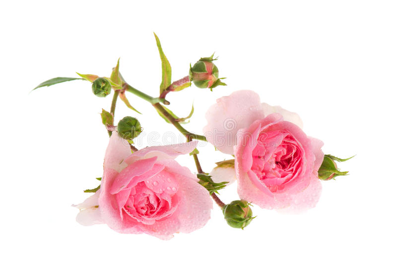 Rosafarbene