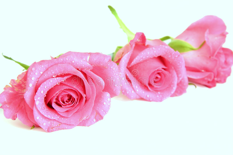 Rosafarbene Rosen stockbilder