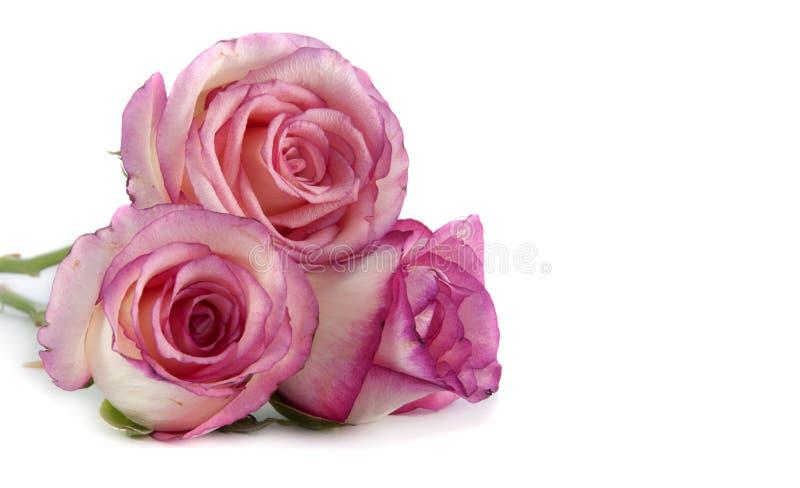 Rosafarbene Rosen lizenzfreies stockbild