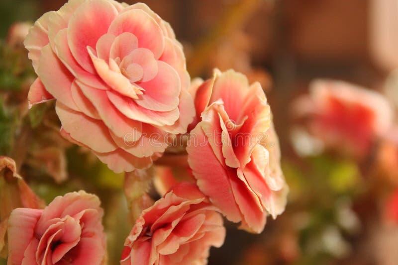 Rosafarbene Rosen lizenzfreie stockbilder