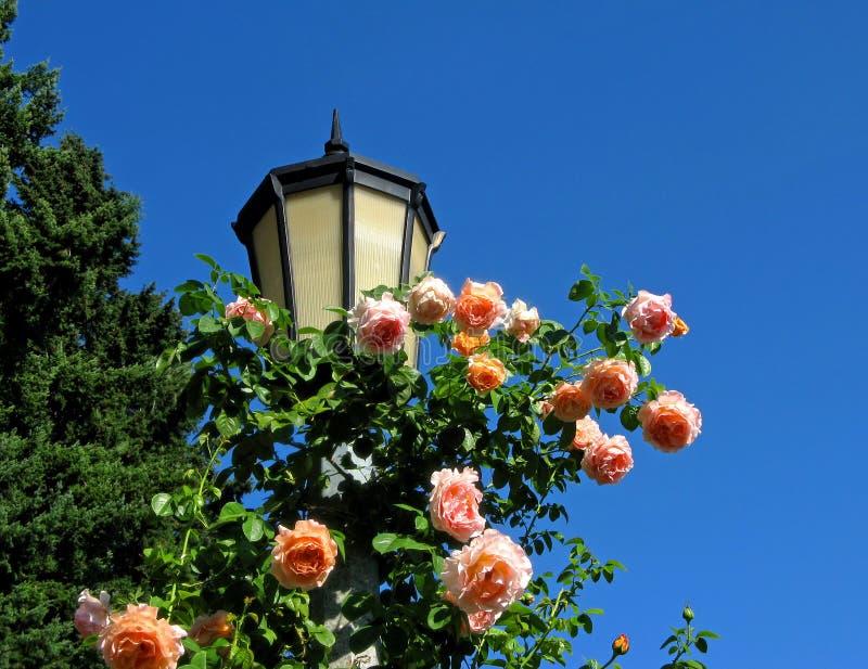 Rosafarbene Rosen auf hellem Pol lizenzfreie stockbilder