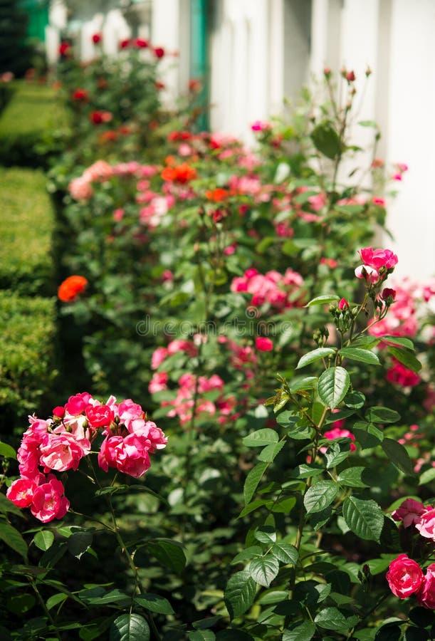 Rosafarbene Rosen im Garten lizenzfreie stockbilder