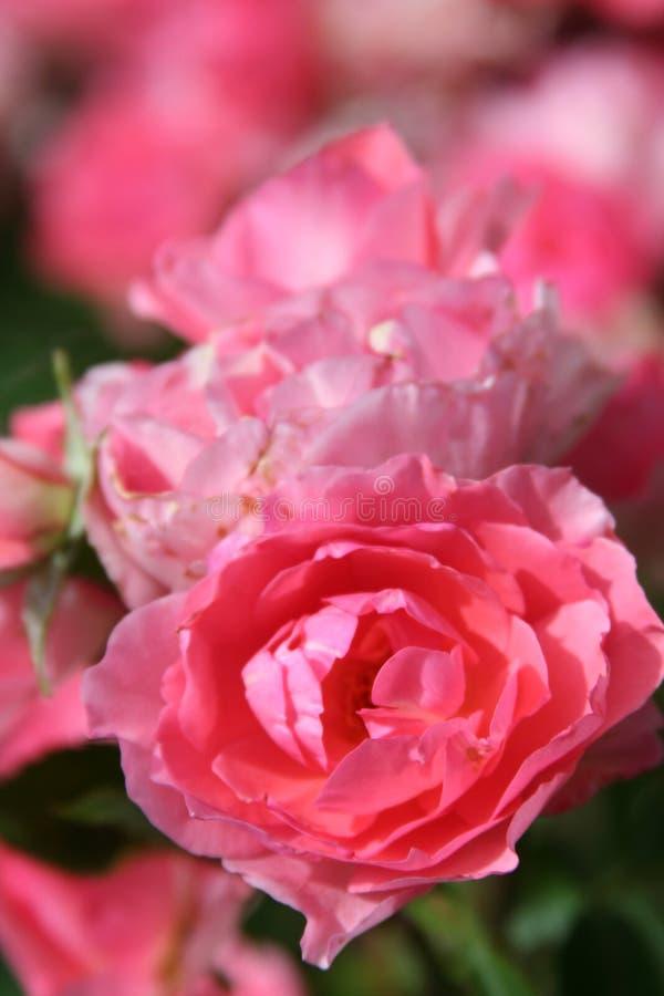 Rosafarbene Rosen mit unscharfem Hintergrund lizenzfreie stockfotos