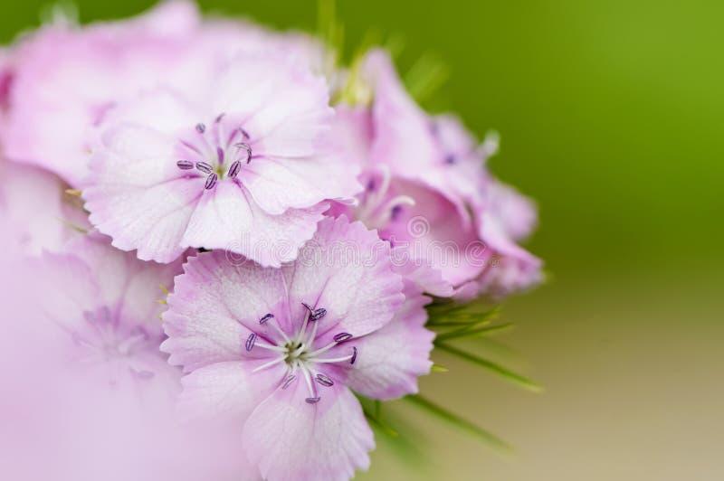 Rosafarbene süße William-Blume lizenzfreie stockbilder