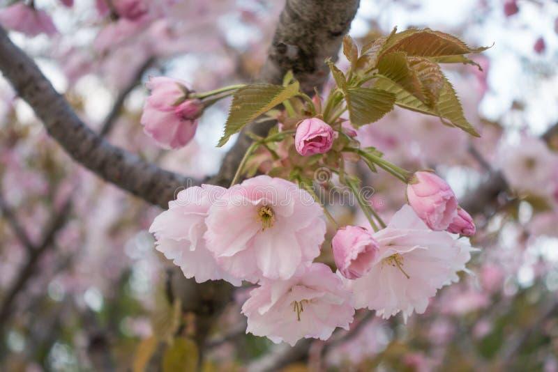 Rosafarbene Sakura-Blüte stockfotos