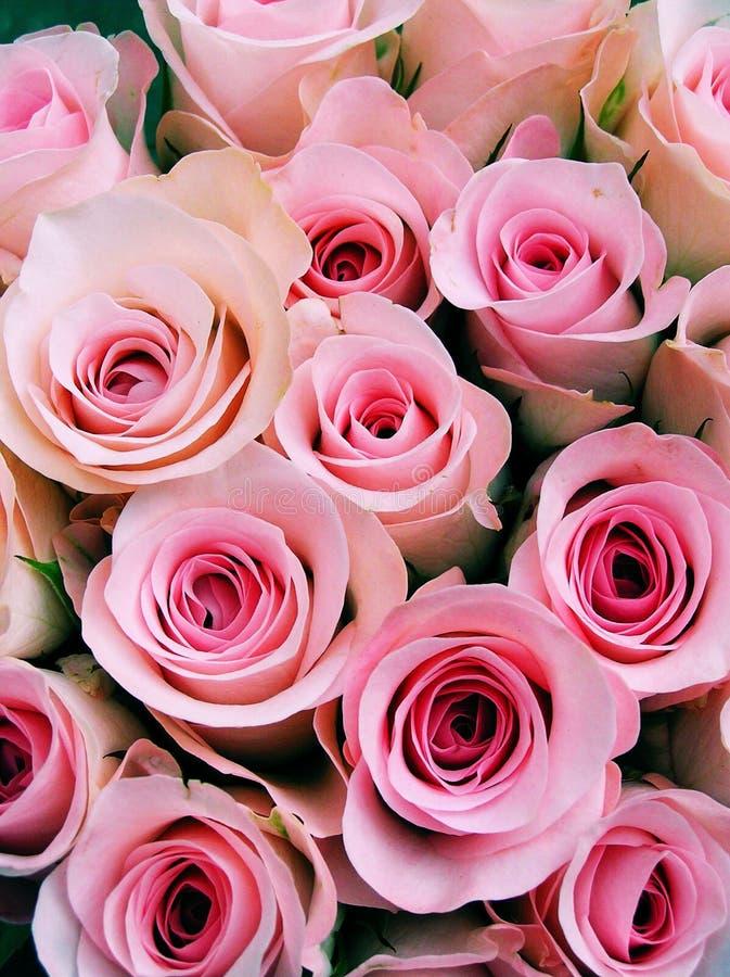 Rosafarbene Schätzchenrosen stockfotografie