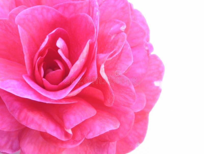 Rosafarbene Schönheit stockfotografie