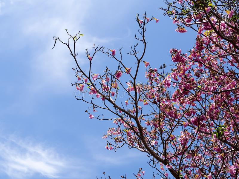 Rosafarbene Tabebuia Blume stockbild