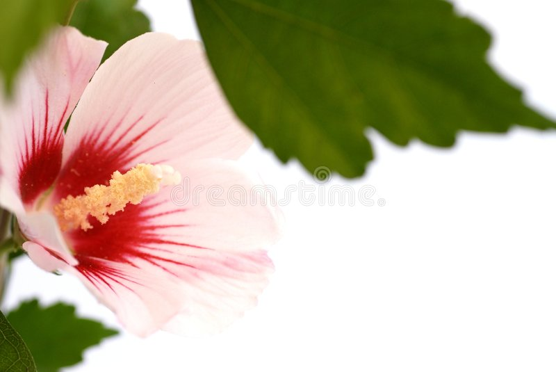 Rosafarbene tropische Hibiscusblume lizenzfreies stockbild