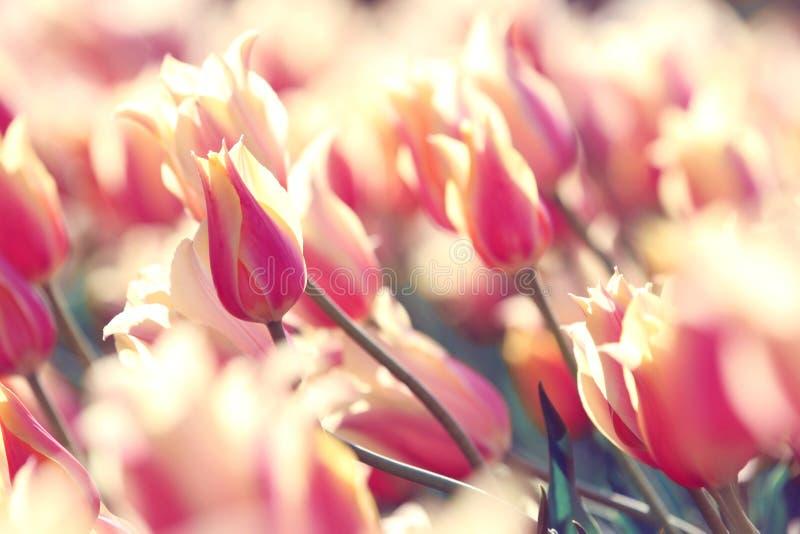 Rosafarbene Tulpe stockbilder