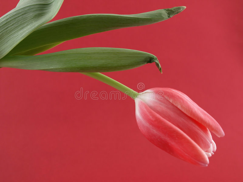Rosafarbene Tulpe lizenzfreie stockbilder