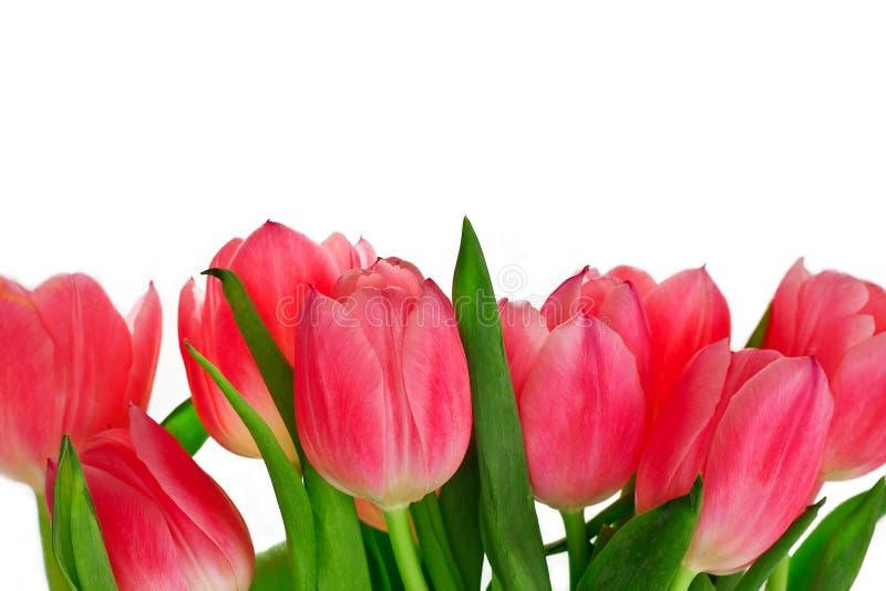 Rosafarbene Tulpe auf einem weißen Hintergrund lizenzfreie stockfotos
