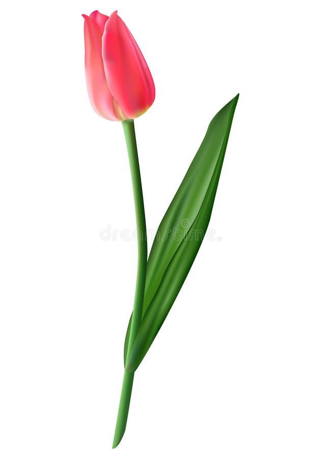 Rosafarbene Tulpe Foto-realistische Maschenvektorillustration Lokalisiertes O lizenzfreie abbildung