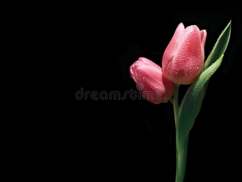 Rosafarbene Tulpen stockfotos