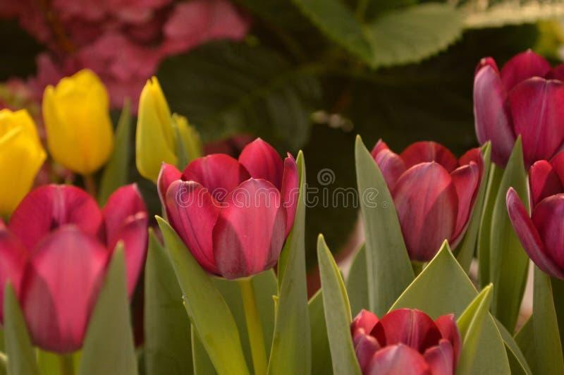 Rosafarbene Tulpen in der Blüte stockbild