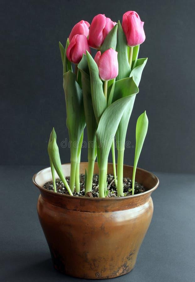 Rosafarbene Tulpen im Behälter stockfotos
