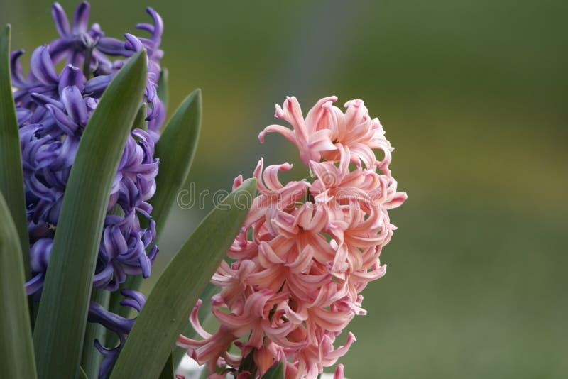 Rosafarbene und purpurrote Hyazinthe stockbild