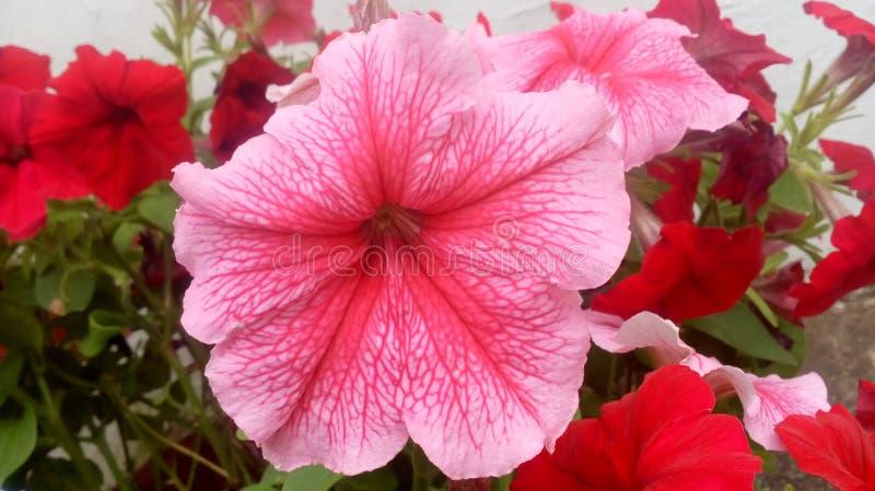 Rosafarbene und rote Blumen lizenzfreie stockfotos