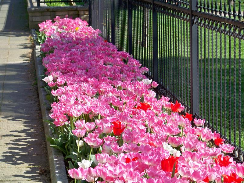 Rosafarbene und rote Tulpen stockfotos