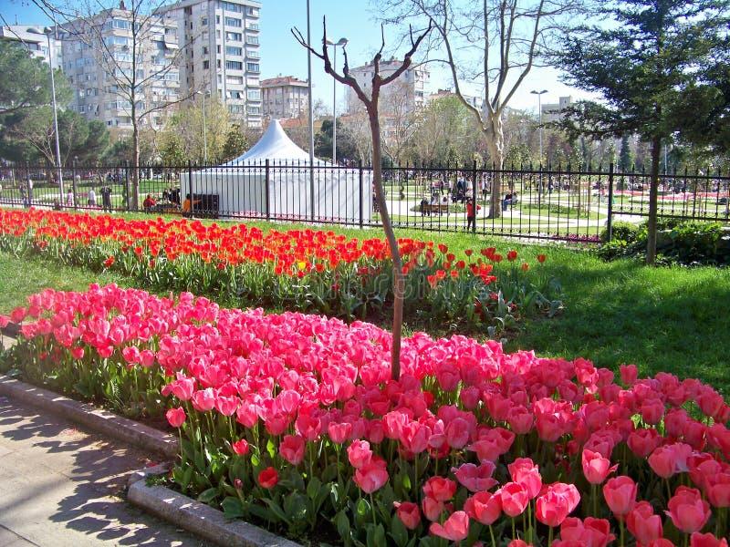 Rosafarbene und rote Tulpen lizenzfreie stockbilder