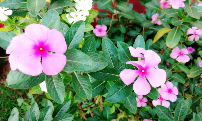 Rosafarbene und weiße Blumen lizenzfreies stockfoto