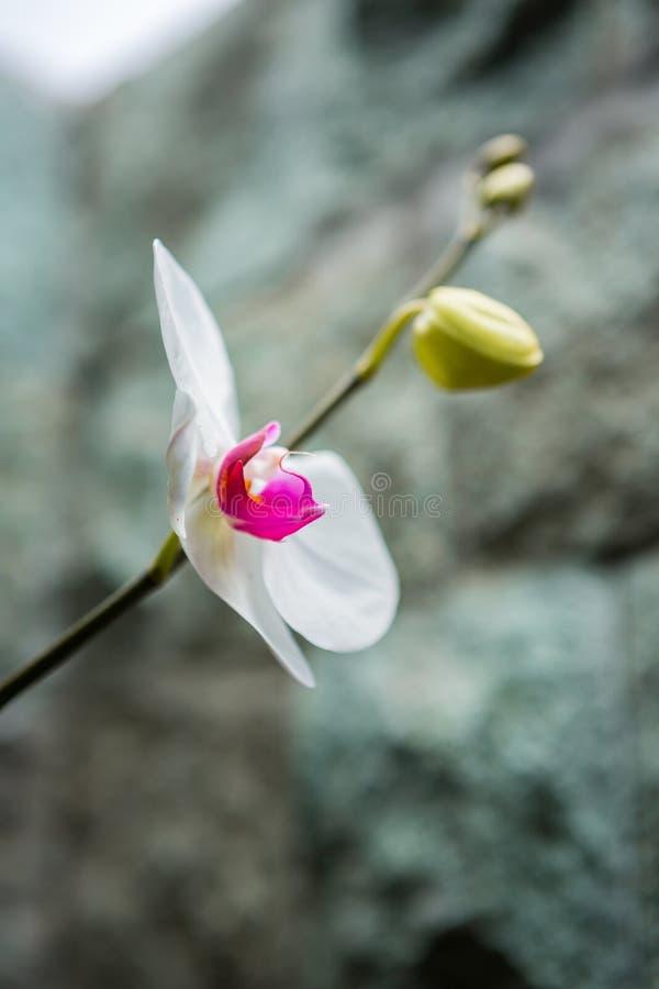 Rosafarbene und weiße Orchidee lizenzfreie stockbilder