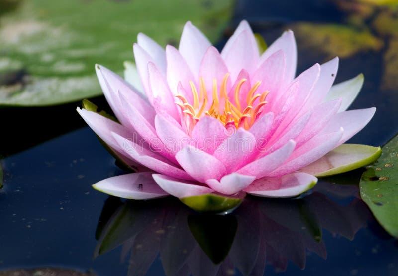 Rosafarbene Wasserlilie stockfoto