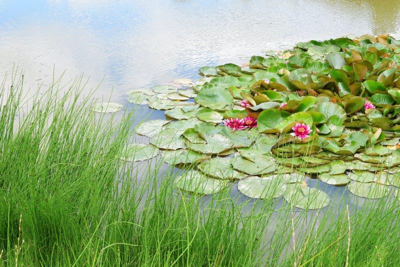 Rosafarbene Wasserlilie im Teich stockbilder