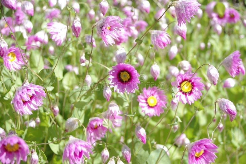 Rosafarbene Wildflowers stockbilder