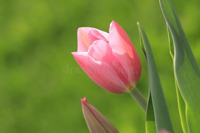Rosafarbene zarte Tulpe stockfotos