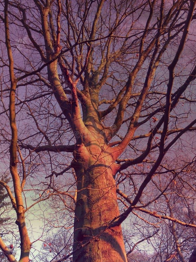 Rosafarbener Baum stockfotos