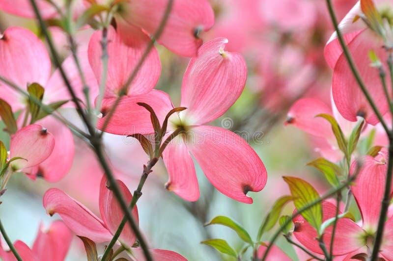 Rosafarbener blühender Hartriegel stockfotos